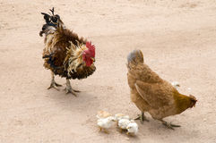 Rooster, hen and chicks Royalty Free Stock Images
