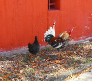 Rooster and Hen Royalty Free Stock Images