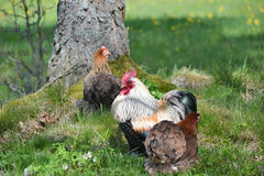 Rooster and hen. Free range rooster and hen in the gras Stock Photography
