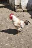 Rooster in the hen house. On the farm Royalty Free Stock Photo