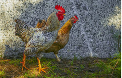 rooster and hen looking one way against a background of a stone wall Royalty Free Stock Image