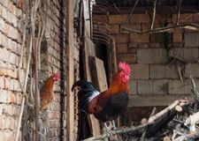 A rooster with a hen that looks at him from a window in the courtyard of a farm Stock Photo