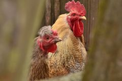 Rooster and hen n the village in a closeup look royalty free stock photos