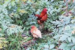 Rooster and hen outdoors Stock Photography