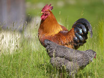 Rooster and hen Royalty Free Stock Photos