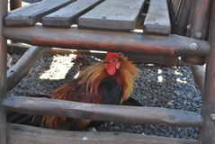 Rooster and hen under the bench. Gorgeous rooster and hen under the bench Stock Photography