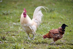 Rooster and hen Royalty Free Stock Photography