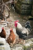 Rooster and hens. A rooster and hens on the yard stock photography