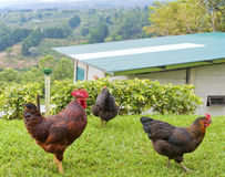 Rooster and Hens. Rooster diligently watching over two hens on a small farm Stock Photography