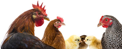 A rooster and hens and chickens. Isolated on a white Stock Photography