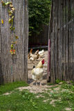 Rooster and hens on the farm yard Stock Images