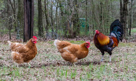 Rooster and hens Stock Photos