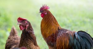 rooster and hens in the garden on a farm royalty free stock photography