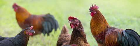 Rooster and hens in the garden on a farm royalty free stock photos