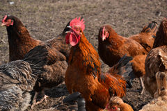 Rooster and hens. Gathering together Royalty Free Stock Photo