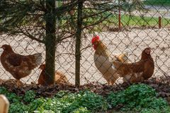 A flock of chickens roam freely stock photography