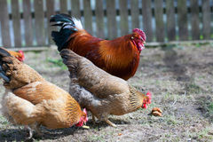 Rooster and hens Stock Images