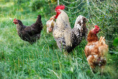 Rooster and hens. Rooster with its hens on a green pasture, moving freely Royalty Free Stock Photos