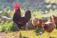 Rooster and hens on nature background. Stock Photos