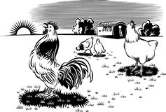 Rooster and hens in an open meadow Royalty Free Stock Photo