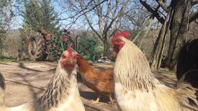 Rooster and hens. Picture of rooster and hens Royalty Free Stock Images