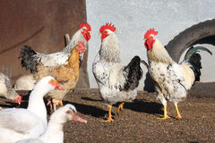 Rooster and hens, poultry stock photo