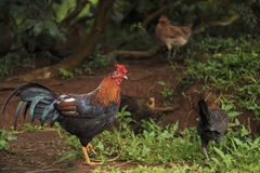 Rooster with hens. A Rooster with several Hens on a farm Royalty Free Stock Photos