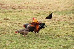 Rooster and hens. Rooster and several hens on the meadow Royalty Free Stock Image