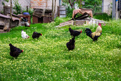 Rooster and hens in yard. Rooster and hens in the yard Royalty Free Stock Photo