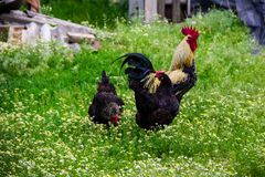 Rooster and hens in yard. Rooster and hens in the yard Stock Image