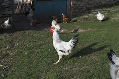 Rooster Hens Yard Countryside Royalty Free Stock Image