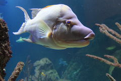 Free Rooster Hogfish Stock Photos - 60986863