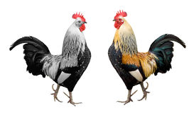Rooster isolated. Colorful and black&white rooster isolated on white background Stock Photos