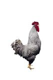 Rooster isolated. A isolated picture of a roster on a white background Stock Image