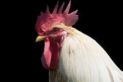 Rooster isolated on black background. Stock Image
