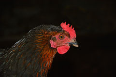 Rooster isolated on black. Big Rooster isolated on black royalty free stock photography