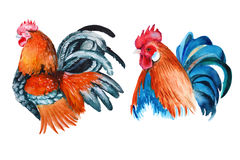 Rooster. isolated. watercolor illustration Stock Image