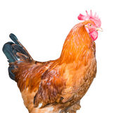Rooster isolated Royalty Free Stock Photography