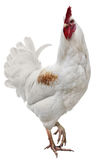 Rooster isolated on white background Royalty Free Stock Photography