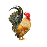 Rooster isolated on white background Stock Photos