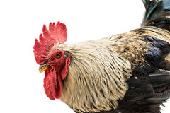 Rooster isolated Stock Image