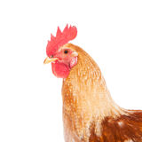 Rooster isolated on white background Royalty Free Stock Photo