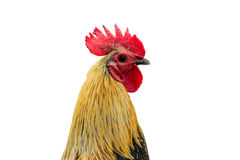 Rooster isolated on a white background with clipping path. Stock Images