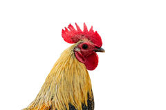 Rooster isolated on a white background with clipping path. Royalty Free Stock Images