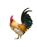 Rooster isolated on white with path Stock Photo