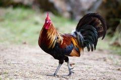 Rooster on Kauai Stock Photos