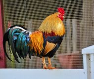 Rooster - King of the Barnyard Stock Photo