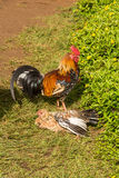 Rooster on the lawn, Hawaii. A view of the roosters on the lawn in Kauai Stock Image