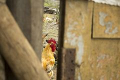 Rooster looking at me behind the door royalty free stock photography