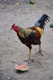 The rooster is looking questioningly Royalty Free Stock Photos